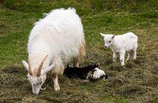 Free Goats Stock Image - 31270561