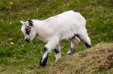 Free Baby Goat Stock Image - 31270621