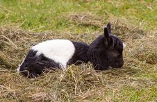 Free Newborn Goat Royalty Free Stock Photography - 31270697