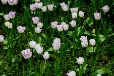 Free Field Of Tulips On Daylight Stock Photography - 31270802