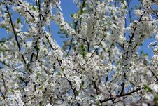 Blossoming Tree Of Plum Stock Photos