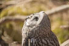 Free Great White Owl Royalty Free Stock Image - 31271016