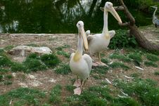 Eastern White Pelicans Royalty Free Stock Image