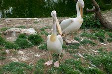 Eastern White Pelicans Stock Photo
