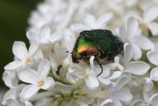 Chafer Golden. Stock Images