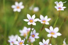 Free Annual Blue Eyed Grass Stock Photography - 31274892