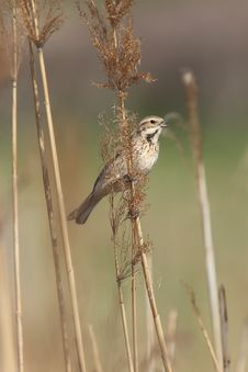 Free Reed Bunting Royalty Free Stock Photo - 31275705