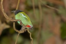 Hooded Pitta Perching On Twisted Vine Stock Images