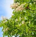Free Chestnut Tree Royalty Free Stock Photos - 31282528
