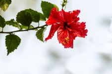 Free Hibiscus Flower Stock Images - 31280834