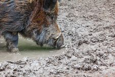 Free Wild Pig Stock Photos - 31281443