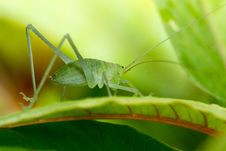 Free Speckled Bush-cricket Stock Images - 31281444