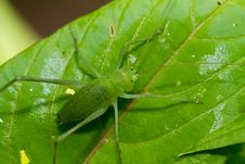 Free Speckled Bush-cricket Royalty Free Stock Photo - 31281445