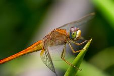 Free Dragonfly Royalty Free Stock Photos - 31281468