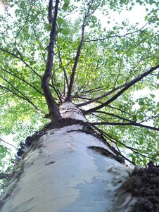 Low Angle Shot Of Birch Trunk Stock Photography