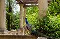 Free Peacock Royalty Free Stock Photos - 31296008