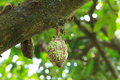 Free Unripe Cocoa Pod On Tree Stock Images - 31299664