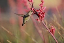 Free Hummingbird Sweet Delight Royalty Free Stock Photo - 31291215
