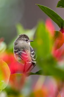 Free Southern Beardless Tyrannulet Royalty Free Stock Photography - 31291347