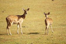 Free Mom And Baby Spotted Deer Royalty Free Stock Photo - 31293035