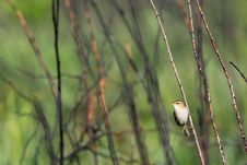 Free Black-browed Reed Warbler Royalty Free Stock Image - 31295996