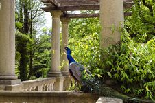Free Peacock Royalty Free Stock Photos - 31296008