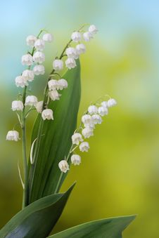 Free Lily Of The Valley Royalty Free Stock Photography - 31296077