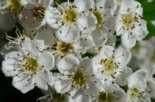 Free Howthorn Flowers Royalty Free Stock Photos - 31297198