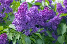 Free Lilac Royalty Free Stock Images - 31297569