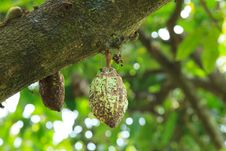 Free Unripe Cocoa Pod On Tree Stock Images - 31299664