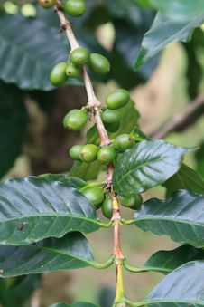 Coffee Tree With Unripe Berries Stock Photos