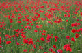 Free Red Poppies Field Stock Photo - 3131020