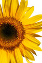 Free Summer Sunflower Royalty Free Stock Image - 3132096