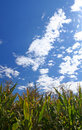Free Ripe Corn Field Under Sky Royalty Free Stock Photography - 3138347