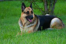 Free German Shepherd Stock Photography - 3130032
