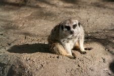 Relaxed Gazing Meerkat Royalty Free Stock Photo