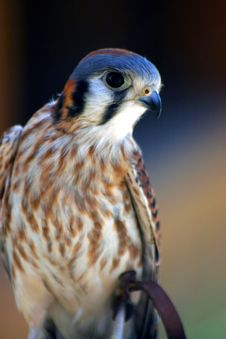 Free Kestrel Stock Photography - 3130542