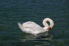 Free White Swan In Lake Royalty Free Stock Photography - 3130957