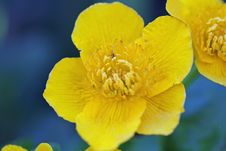 Free Mari Gold Stock Images - 3131504