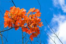 Free Aspen Leaves Royalty Free Stock Photography - 3132287