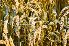 Free Colden Evening Grain Royalty Free Stock Image - 3132736