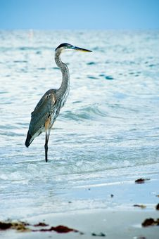 Free Heron - Bird In Sea Water Royalty Free Stock Image - 3132866