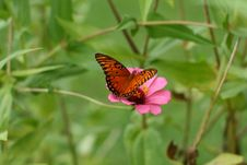 Free Butterfly Gathering Nectar Royalty Free Stock Photos - 3133028