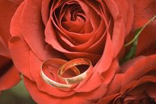 Free Wedding Rings In The Rose Royalty Free Stock Photography - 3133477