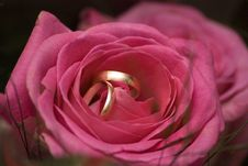 Free Wedding Rings In The Rose Stock Images - 3133704