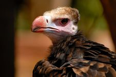 Free Vulture Muzzle Stock Images - 3133934