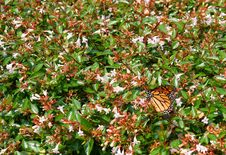Free Monarch Butterfly Royalty Free Stock Photography - 3135527