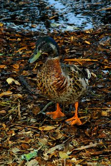 Free Duck Day Out Royalty Free Stock Image - 3135556