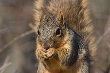 Free Fox Squirrel Stock Photo - 3135560