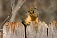 Free Fox Squirrel Stock Photography - 3135582